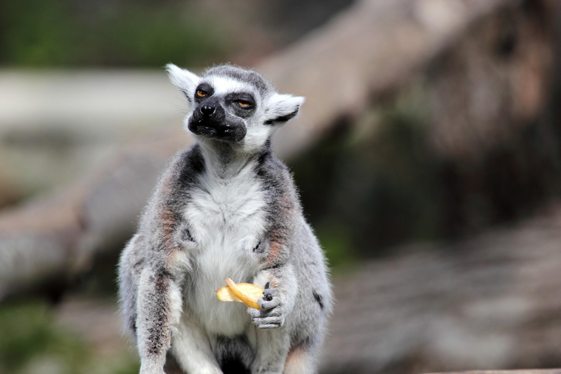 Lemur-mit-Obst-Madagaskar